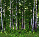 Paisaje de bosque de abedul de verano — Foto de Stock