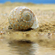 Royalty-Free Stock Photo: Seashell