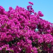 Bush of Bougainvillea flowers — Stock Photo