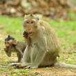 Monkeys in Cambodia - Photo