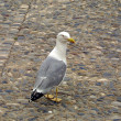 Mediterranean seagull — Stock Photo