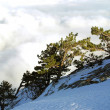 Pine-trees above the clouds - Stock Photo