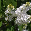White lilac - 
