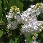 White lilac — Stock Photo #1107463