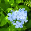 Stock Photo: Gentle blue flowers