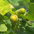 Acorns on the oak-tree — 图库照片