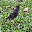 The Javan Myna bird - Foto de Stock