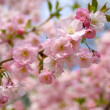 Spring sakura blossom - Stock Photo