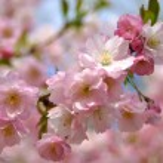 Spring sakura blossom — Stock Photo #1118918