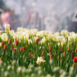 White tulips — Stock Photo
