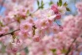 Spring sakura blossom — Stock Photo