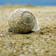 Seashell on a sandy beach — Stock Photo