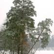 Stock Photo: Trees in the winter park