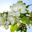 Branch of apple bloom in spring — Stock Photo #1123562