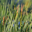Green bulrush near the lake — Stock Photo