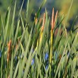 Green bulrush near the lake - Stock Photo