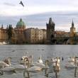 Swans on Vltava river in Prague — Stok fotoğraf