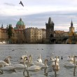 Swans on Vltava river in Prague - Stock Photo