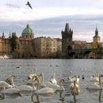 Swans on Vltava river in Prague — Stock Photo