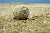 Seashell on a sandy beach — Stock Photo
