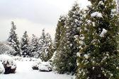 Besneeuwde fir-bomen in de winter — Stockfoto