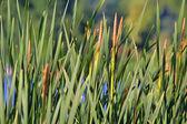 Green bulrush near the lake — Stock Photo