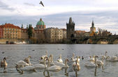 Swans on Vltava river in Prague — Stockfoto