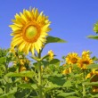 Sunflowers — Stock Photo #1138417