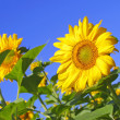 Sunflowers — Stock Photo #1138421