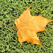 Falln yellow maple leaf — Stock Photo