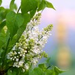 White lilac — Stock Photo #1138624