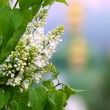 Royalty-Free Stock Photo: White lilac
