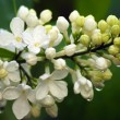 White lilac — Stock Photo #1138631