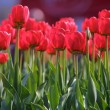 Red tulips — Stock Photo #1138648