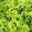 Green lettuce salad — Stock Photo