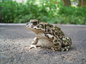 European Green Toad — Stock Photo
