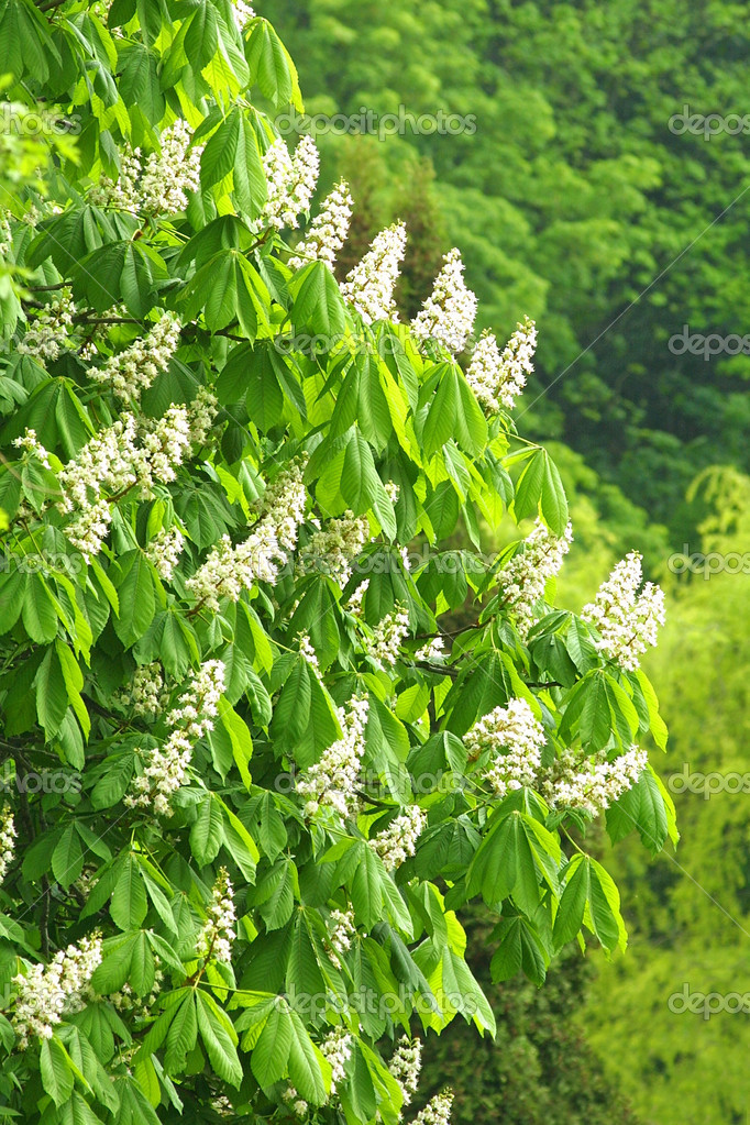 White blossoms of chestnut tree in May — Stock Photo #1138606