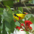The European Golden Oriole - Stock Photo