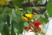 The European Golden Oriole — Stock Photo