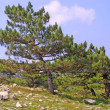 Pine-trees on a mountains slope — Stock Photo
