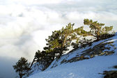 Pine-trees above the clouds — Stock Photo