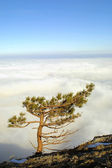 Pine above the clouds — Stock Photo