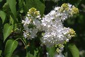 White lilac — Stock Photo