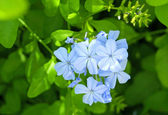 Gentle blue flowers — Stock Photo