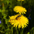 Dandelion and bee — Stock Photo