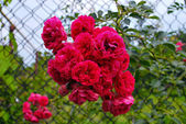 Rosy rose — Stock Photo