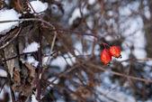 Dog rose in winter — Stock Photo