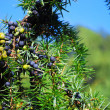 Juniper in the forest — Stock Photo