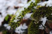 Mos onder de sneeuw — Stockfoto