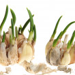 Germinate garlic — Stock Photo #2348335